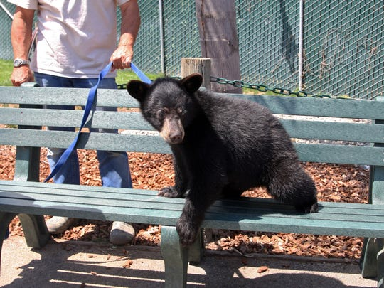 Mikey sits on a bench at the Monterey Zoo with Director Charlie Sammut holding his leash, July 12, 2017