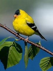 """American goldfinch photographed at The Ridges Sanctuary in Baileys Harbor by Douglas Sherman, part of his newly published photography book """"The Ridges Sanctuary: An Intimate View."""""""