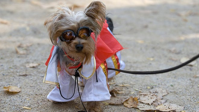 A wire terrier dressed as daredevil Evel Knievel competes in the costume contest at the Tompkins Square Halloween Dog Parade.
