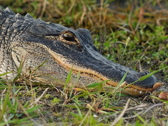 Florida Man Arrested for Killing an Alligator That Attacked His Stepson forecast