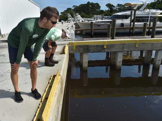 "Jordan Skaggs (front) and Drew Liddick, both environmental specialists with the Department of Environmental Protection out of Fort Pierce, visually inspect the water on the north fork of the St. Lucie River at Central Marine on Wednesday, Aug. 2, 2017, in Stuart. ""Looking at this we don't see any indications of algae right now,"" Skaggs said. To see more photos and video, go to TCPalm.com."