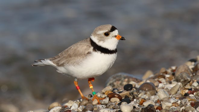 The public can help piping plover recovery efforts by reporting their sightings of piping plovers with metal and color bands on their legs. Here is a piping plover at Sleeping Bear Dunes National Lakeshore along Lake Michigan.