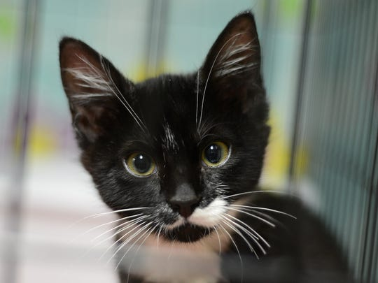 """""""Mighty Mouse"""", a kitten adopted to family at Salem Friends of Felines."""