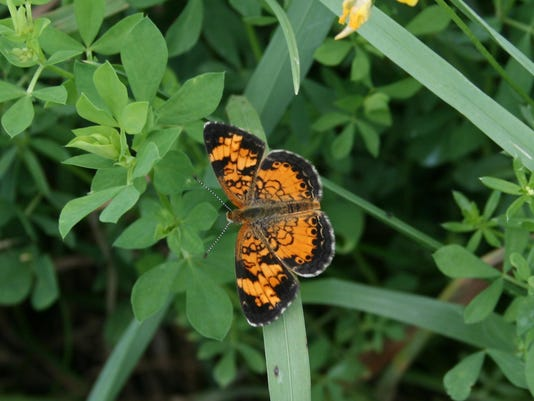 Pearl Crescent Butterfly. Photo by Susan Lehrer