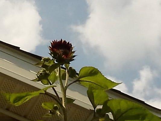 635835499350743767-marble-sunflower.JPG