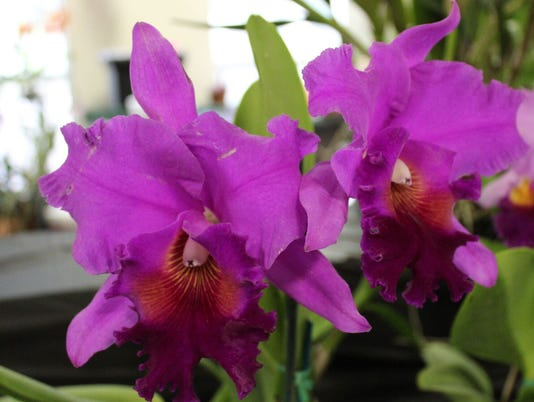 636596491125283035-Orchid-purple-IMG-2631-preview.jpeg.jpg