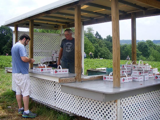 Nelson Heagy, owner of Honey Bear Orchards in North Annville Township, attends to the stand at the strawberry patch. Strawberry season normally starts the first week of June and lasts for three weeks.