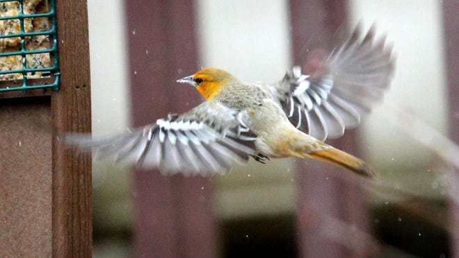 This Bullock's oriole was spotted in Ulster County, topping the list of rare sightings for March.