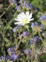 Desert chicory and scorpionweed can be spotted along
