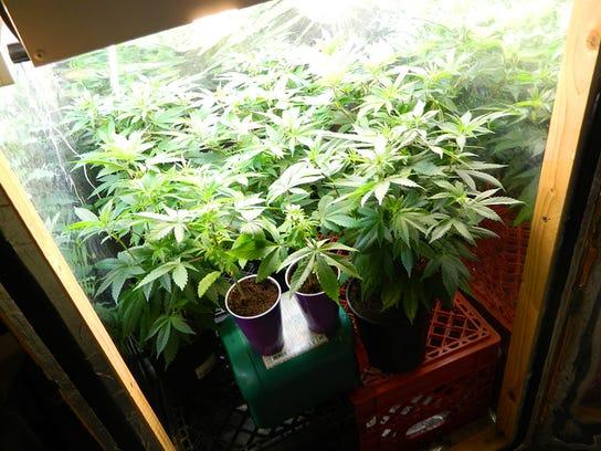 SHR 0828 DPSO marijuana closeup