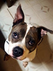Petunia is an adult, spayed-female Staffordshire terrier.