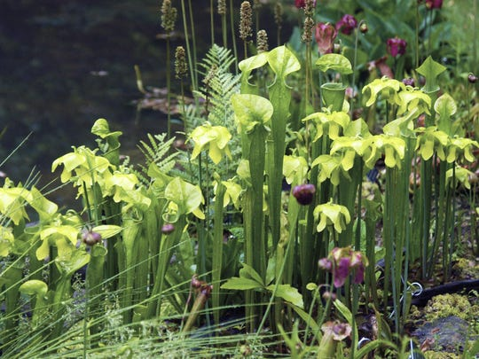 Green pitcher plant Sarracenia oreophila is a native carnivorous plant that lives boggy soils and flowers in early spring. Its stalks of pitchers, which tempt all sorts of insects to their fates, make excellent additions to arrangements, as well.
