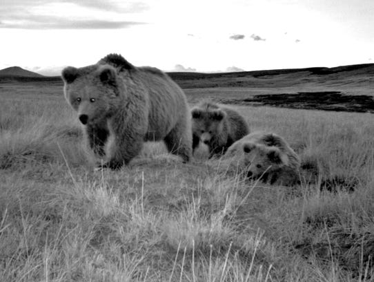 A family of Himalayan brown bears, including a female