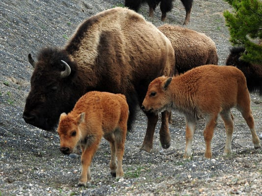 American Bison (also known as Buffalo) a