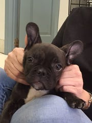 This French bulldog was on sale in early March at the Puppies & Kittens store in Wappingers Falls for $2,499, the pet store's most expensive puppy. Prices generally start at $999.