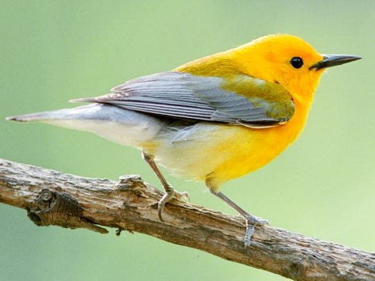 The prothonotary warbler is one of 375 bird species that live or pass through the Mississippi coastal region.