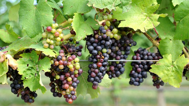 Grapes hang on a vine at Bellview Winery in Cumberland County. A package of bills co-sponsored by Democrats Adam Taliaferro and Gilbert 'Whip' Wilson is aimed at increasing wine production and tourism in New Jersey.