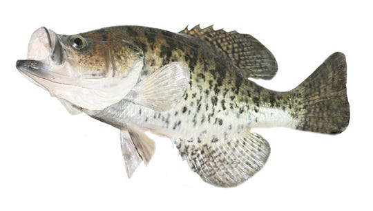A fish is shown in this undated photograph.