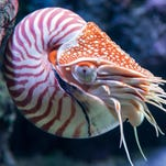 An adult chambered nautilus swims along a coral reef.
