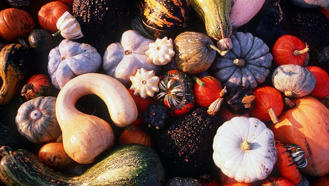 Roasted, baked or made into soups heirloom winter squash are hearty and have extra nutrients. They also can be used as a table centerpiece before eating.