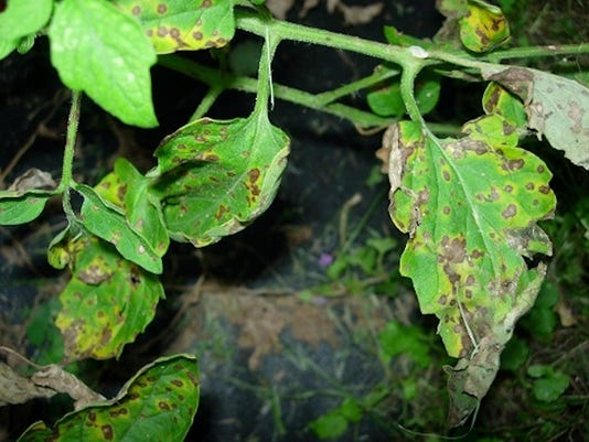 septoria-leaf-spot-VT.jpg