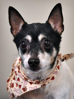 Tinkerbell is a nine-year old, black and white, female rat terrier mix. She is sweet, calm and available for adoption at the Wichita Falls Animal Services Center.