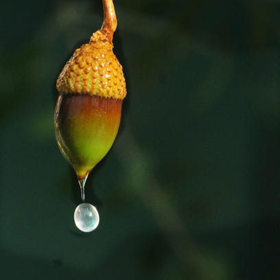 A drop of water drips from an acorn on a live oak in