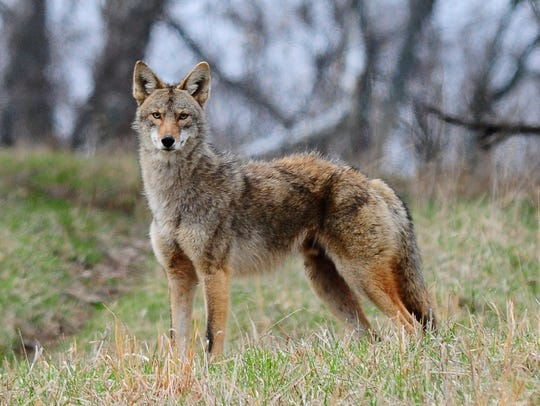 The Ohio Department of Natural Resources says a coyote