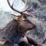 Numbers for elk at the end of the general big game season were better than the past 20 years.