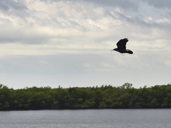 A bird is seen carrying nesting material while flying east above the Indian River Lagoon at Round Island Riverside Park in 2016. Property on the south side of the park is part of 17 publicly owned waterfront properties in Indian River County.