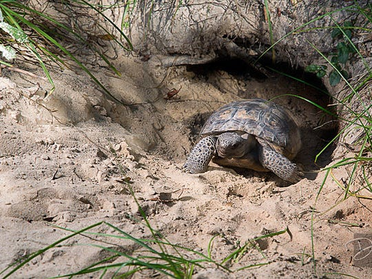 The gopher turtle digs holes that get used by the gopher frog, Indigo snake, Florida mouse and 350 other species.