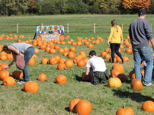 Visitors to Plymouth Orchards & Cider Mill search for pumpkins in the U-pick pumpkin patch.