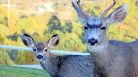 A mule deer buck and one of his offspring stopped to greet Matthew Midgett one day as they visited his ranch.