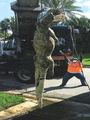 Lee County Department of Transportation staff snapped a picture of an 11-foot-alligator being pulled from a drain in the Whiskey Creek neighborhood on Monday.