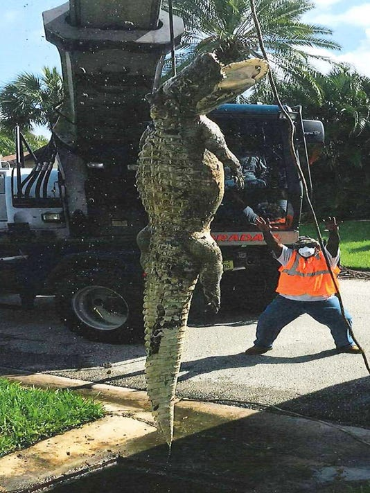 11 foot alligator pulled from fort myers drain