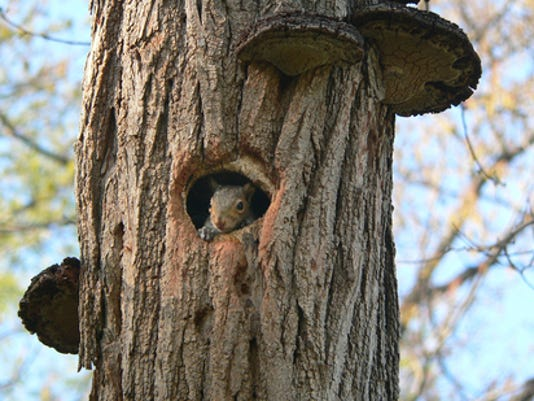 """Susan Spittle of Springettsbury Township submitted this photo to the YDR Animals gallery May 20. Spittle writes, """"I'd been staring at the hole thinking it was an owl nest -- and out popped this curious little guy."""""""