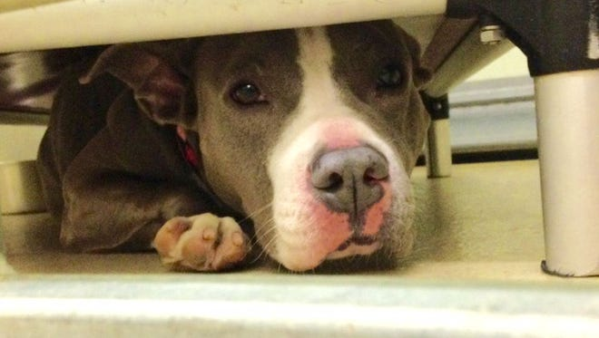 Angel the pitbull huddles under her bed.