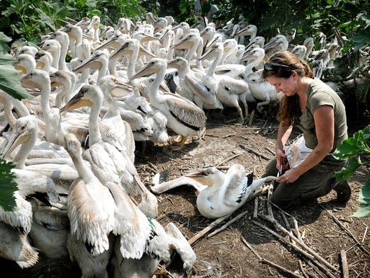 Christine Kleven concentrates on banding a young pelican while surrounded by many more pelicans at the Lac Qui Parle Wildlife Management Area near Appleton Friday, July 18.