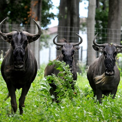 Three blue wildebeests stare into the camera Thursday,
