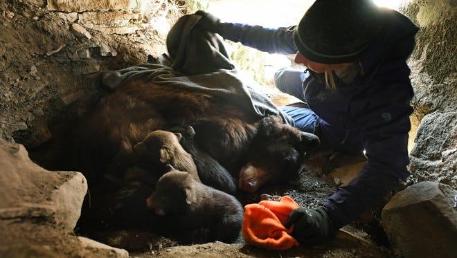 In March 6, 2017, Colorado Parks & Wildlife researcher Heather Johnson puts three black bear cubs back in the den with their mother, on Raider Ridge in Durango, Colo. Johnson, is heading up a five-year study to determine the influence of urban environments on black bear behavior and population trends. (RJ Sangosti/The Denver Post via AP)