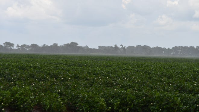 Cotton fields in the Brazos Valley have received seasonable rains, but bollworms are finding a feast on some varieties.