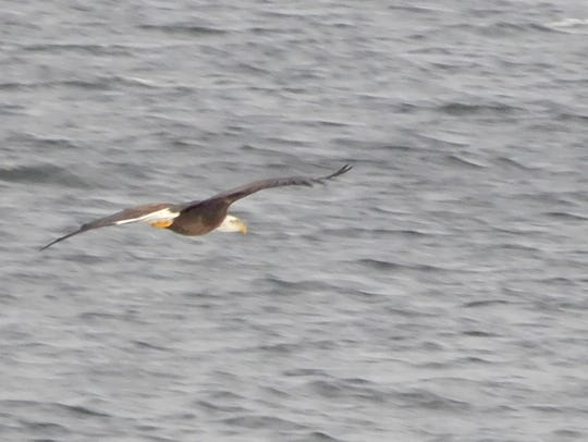 A bald eagle flies low over Malletts Bay in Colchester