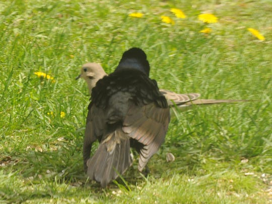 A common grackle puffs up its feathers and drags its wingtips while confronting a mourning dove.