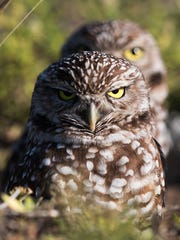 A pair of burrowing owls look out from their Cape Coral