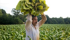 A Mexican migrant worker carries flue-cured tobacco
