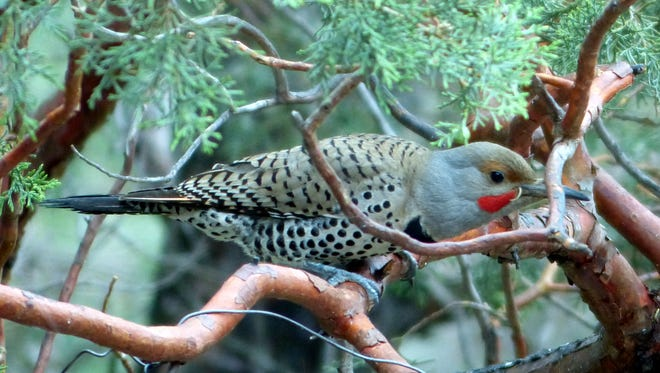A northern flicker joins other birds at a feeder in Ruidoso.