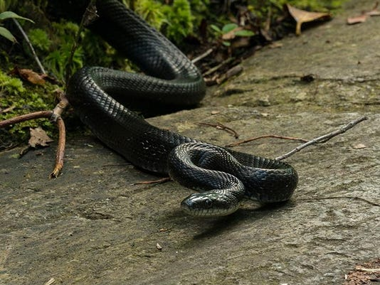 Black Rat Snake. Photo by Carl Mueller