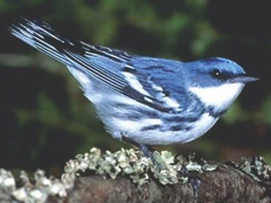 Cerulean Warbler2.jpg
