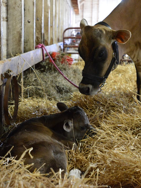 04 Newborn calf