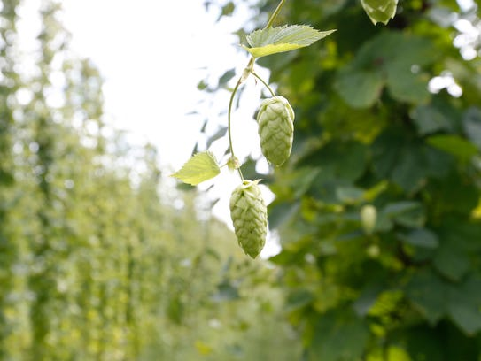 Rows of hops at Willet Hop & Grain on Thursday August